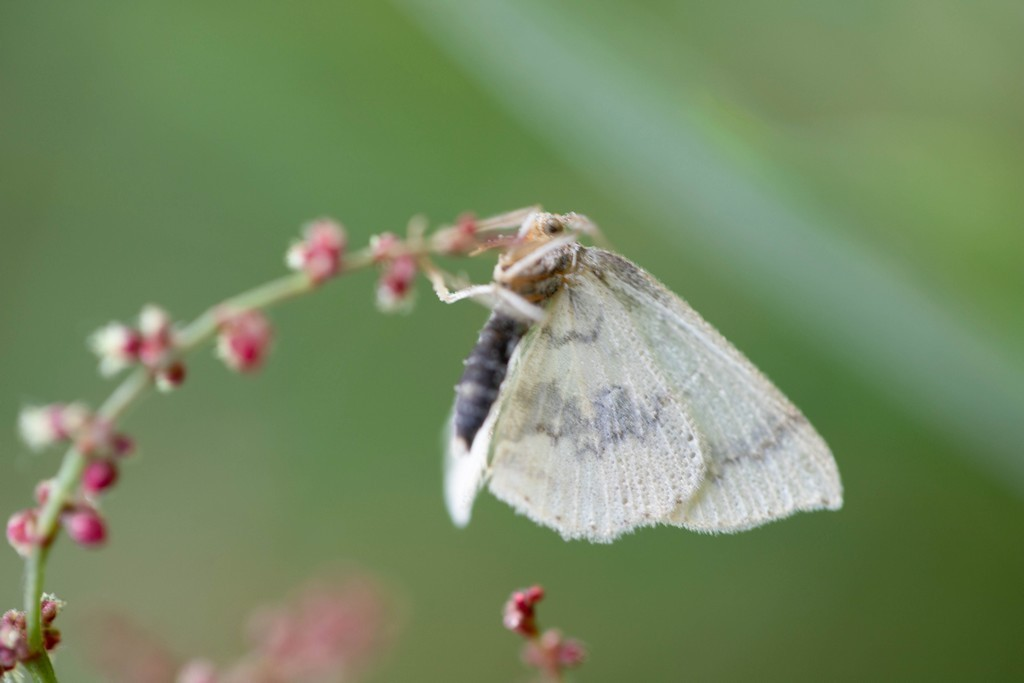La nole blanche (meganala albula)