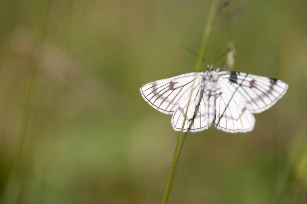 La phalène blanche ( Siona lineata)