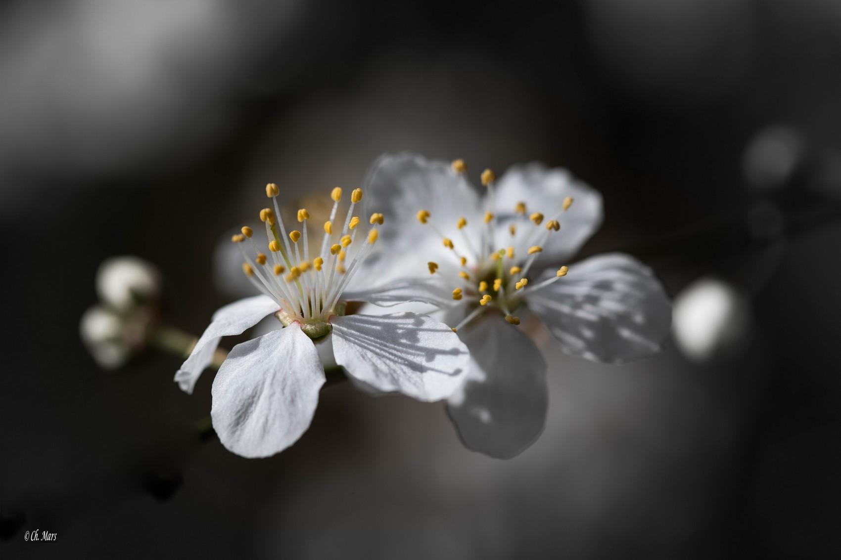 Epine noire (Prunus spinosa)