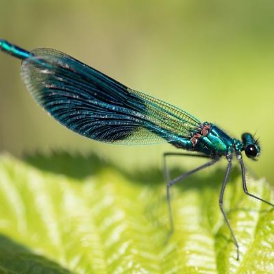 prachlibelle calopterix virgo 2