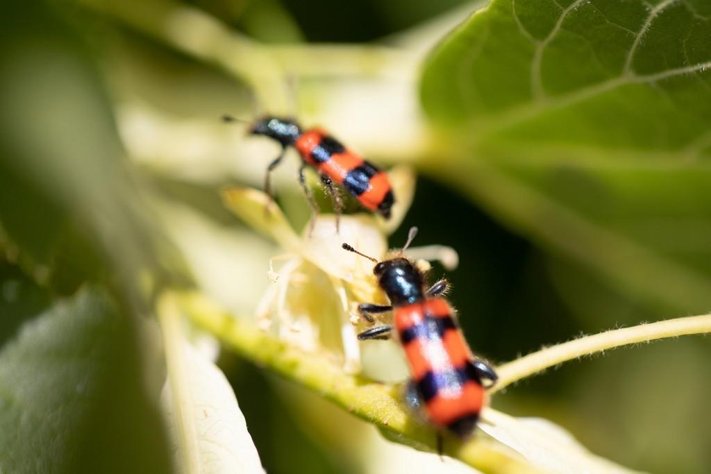 Trichodes apiarieus (Trichodes apiarius)