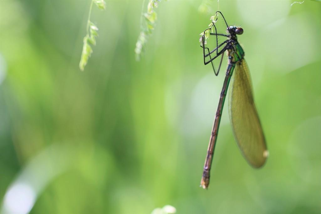 calopteryx spendens ou haemorrhoidalis
