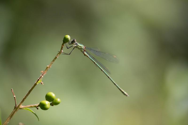 Calopteryx splendens où  Leste vert(Adonate)