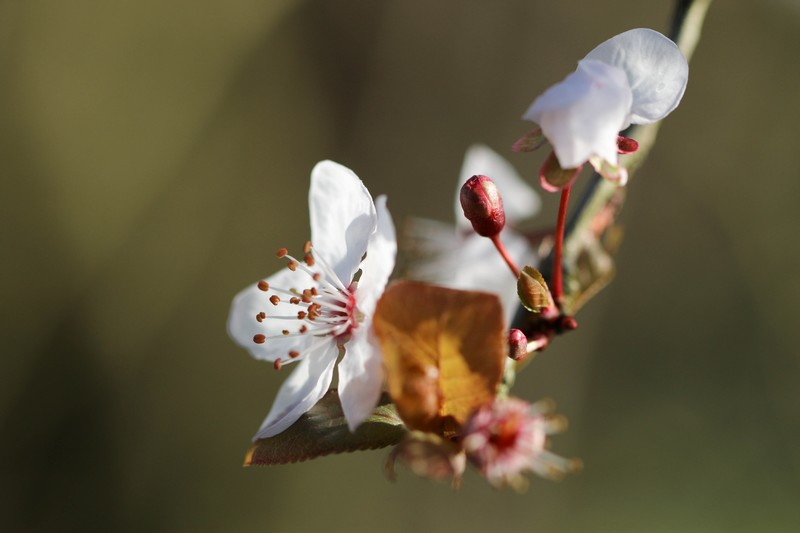 Prunus (Prunus spinosa)