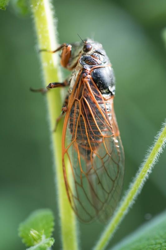 Cigale (cicadidae)