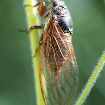 Cigale (cicadidae)
