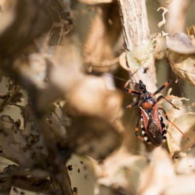 réduve (punaise carnassière)