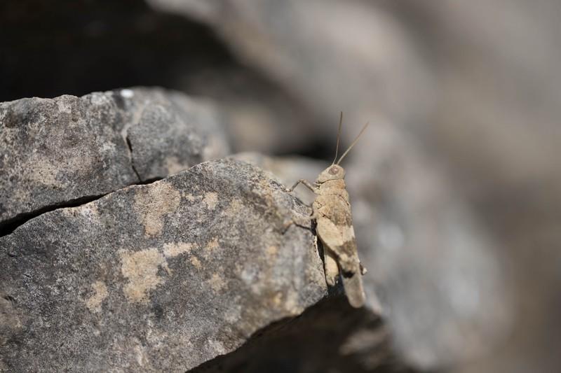 Sauterelle Oedipoda caerulescens (Orthoptera)