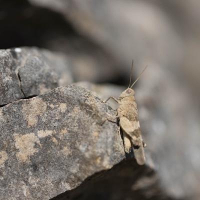 IMG_0325 Sauterelle Oedipoda caerulescens (Orthoptera)