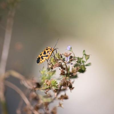 Punaise du chou (Eurydema ventralis)