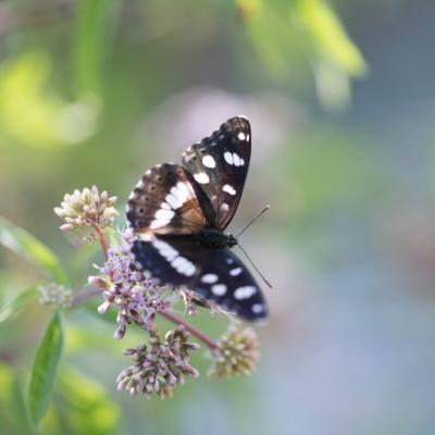 IMG_0498 grand mars (Les nymphalidae)