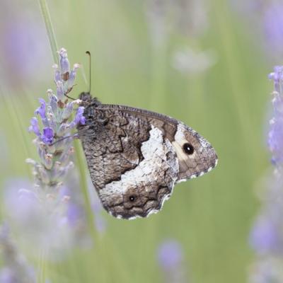 IMG_0561 Silène (Nymphalidae)