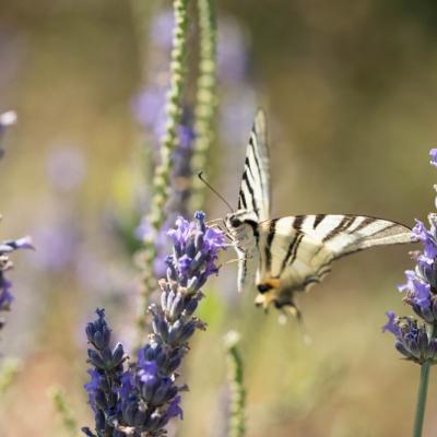 IMG_0612 Le Flambé (Les Papilionidae)