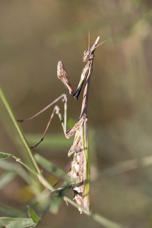 Empuse pénnée (Empusa pennata)