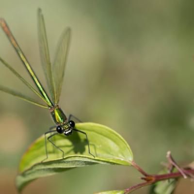 Calopteryx splendens femelle (Adonate Zygoptères)