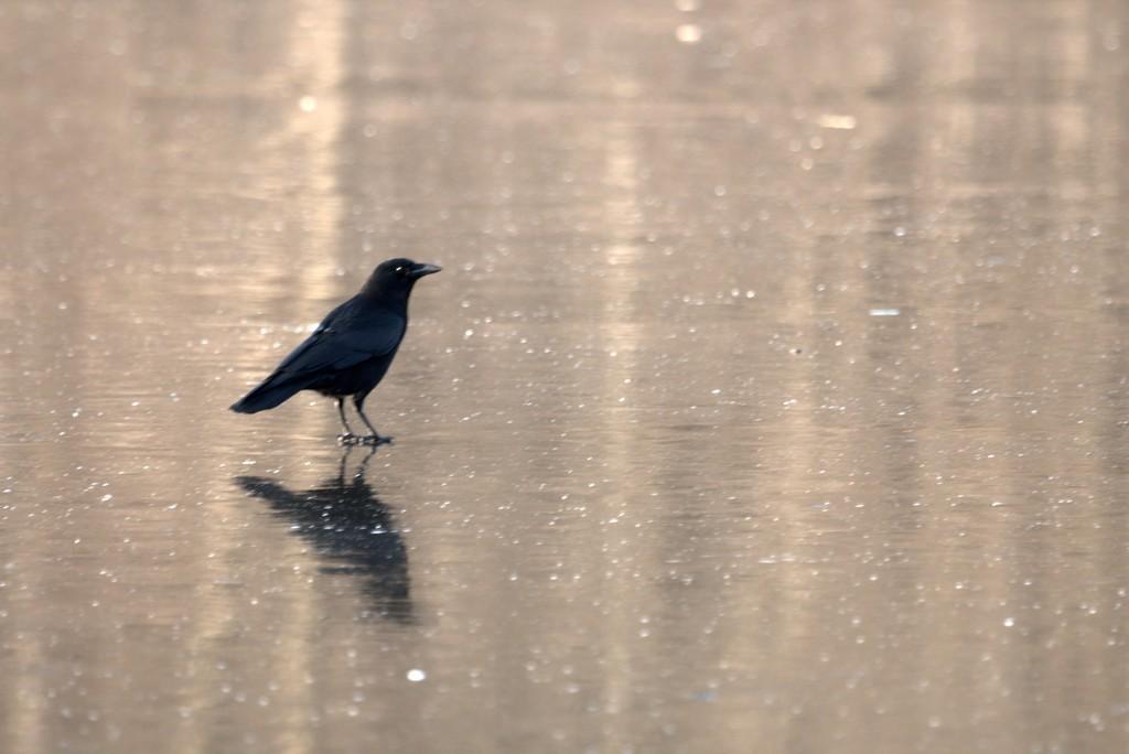 Corneille noire (Corvus corone corone)