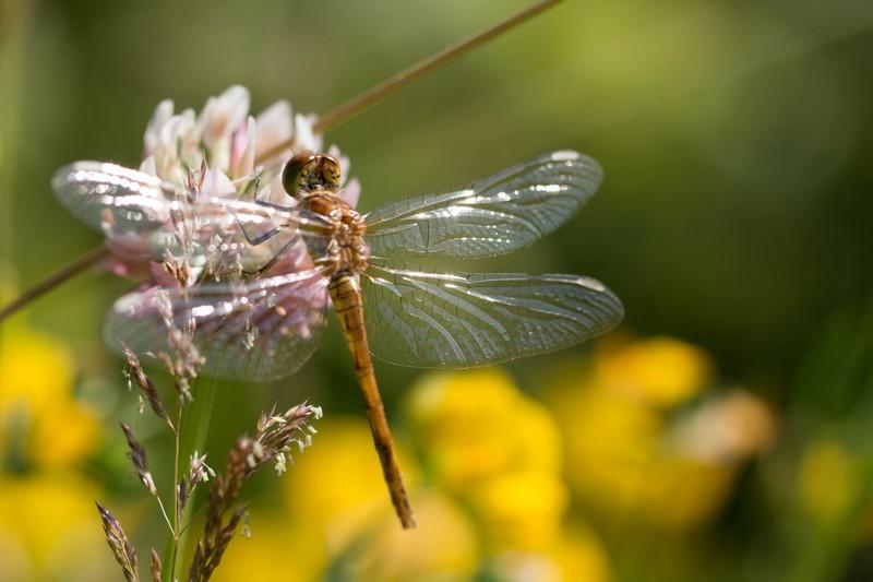 Libellule (Anisoptera)