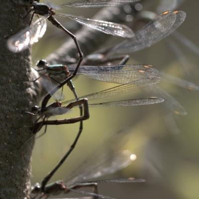 Calopteryx splendens (Adonate Zygoptères)