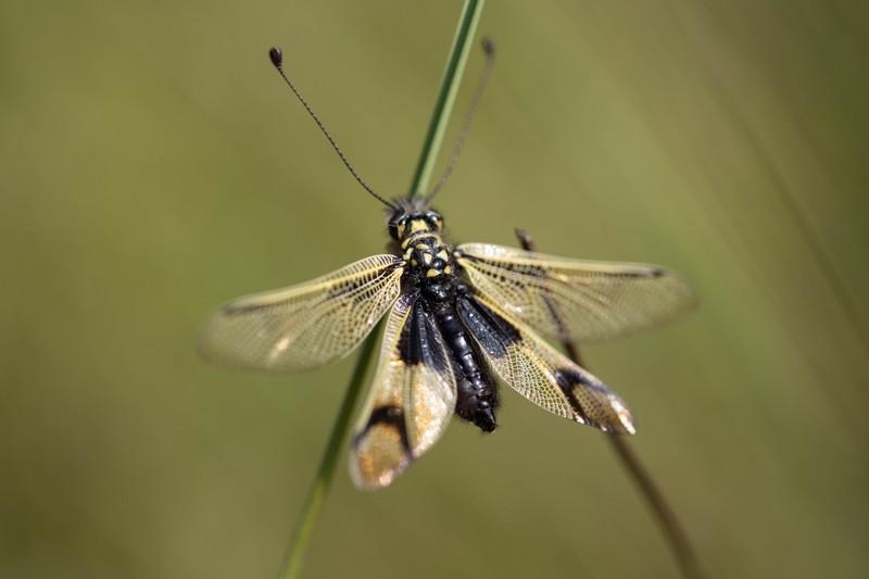 Ascalaphe,  libelloides ( Ascalaphus)