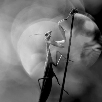 La mante religieuse (Mantis religiosa)