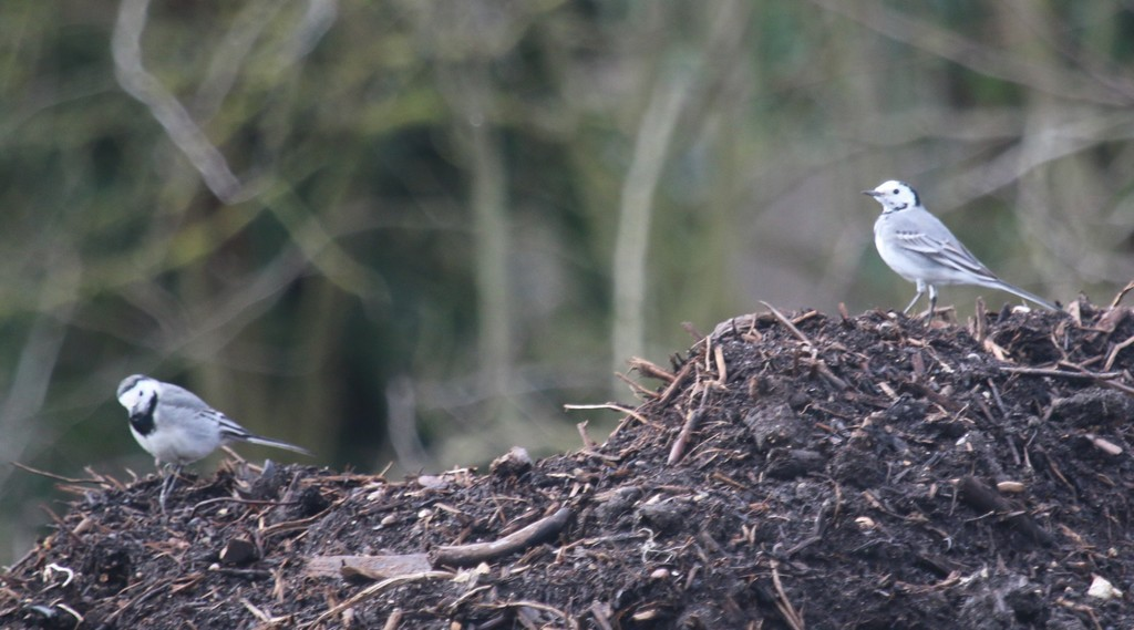 Bergeronnette grise ( motacilla alba)