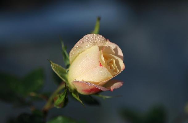 Rose et rosée