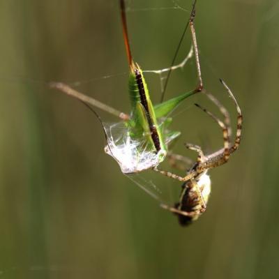 IMG_1300 Araignée et sa proie Argiope frelon et sauterelle