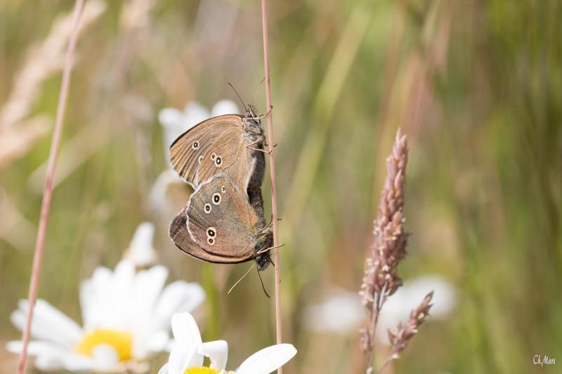 Le tristan (Nymphalidae)