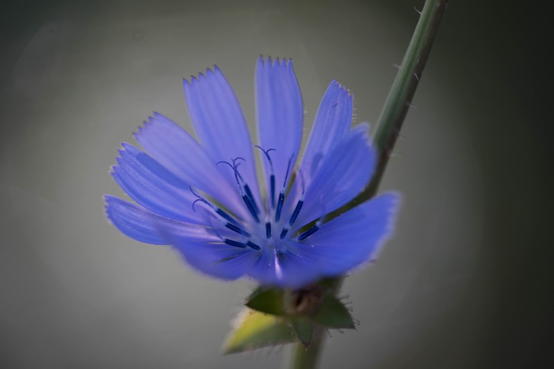 Cichorium ( Cichorium instybus)