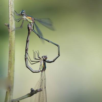 IMG_1497 Calopteryx Splendens