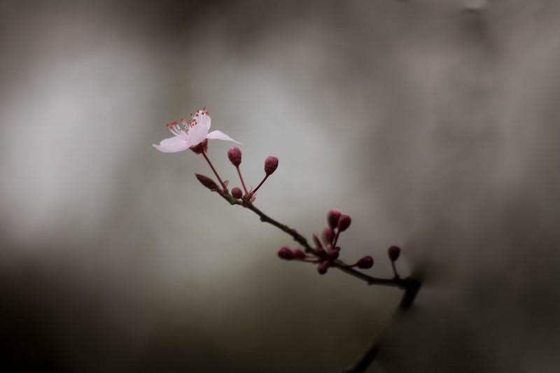 Prunus ( Prunus spinosa)