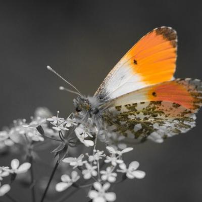 IMG_1675 Aurore (Les pieridae)