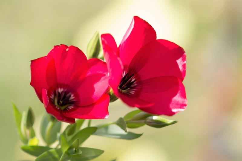 Lins à grandes fleurs (Linum grandiflorum rubrum)