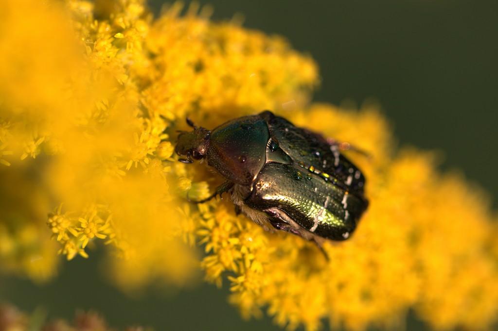 Cétoine doré ( Cetonia aurata)