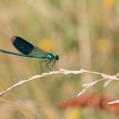 IMG_2852 Calopteryx splendens (mâle)