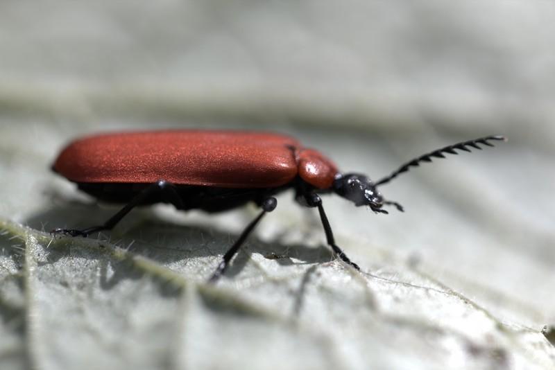Lycie sanguine ( Lygistoterus sanguineus)