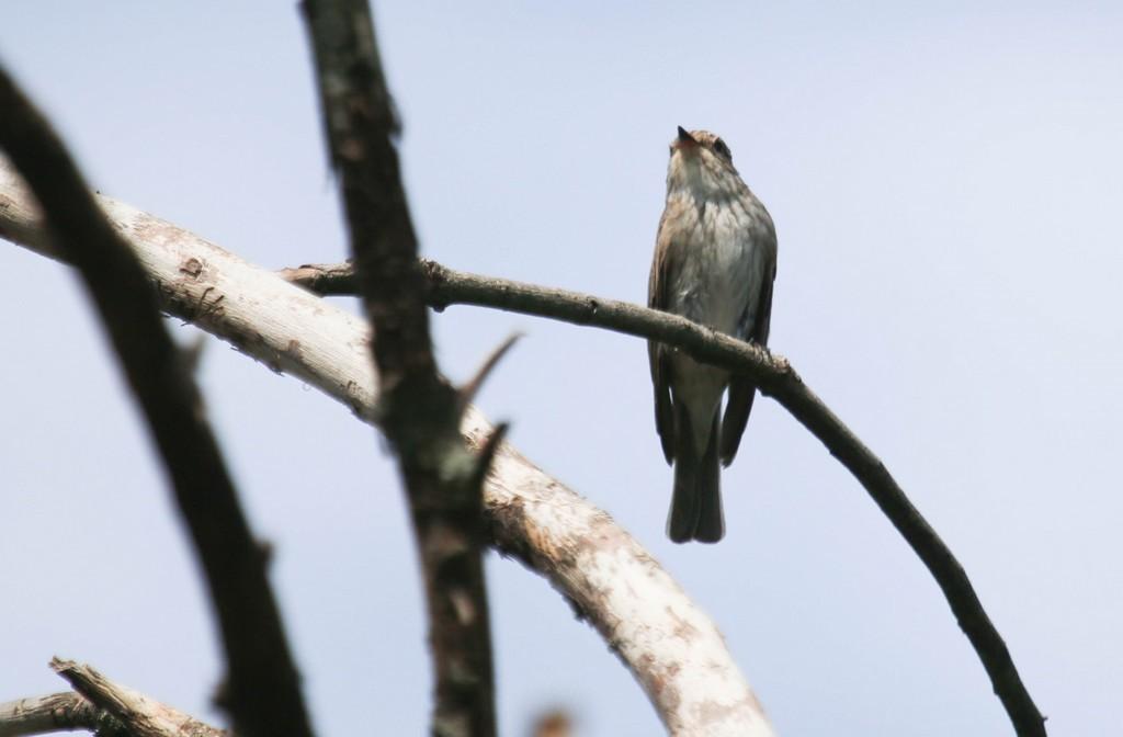 Gobemouche noir (Ficedula hypoleuca)