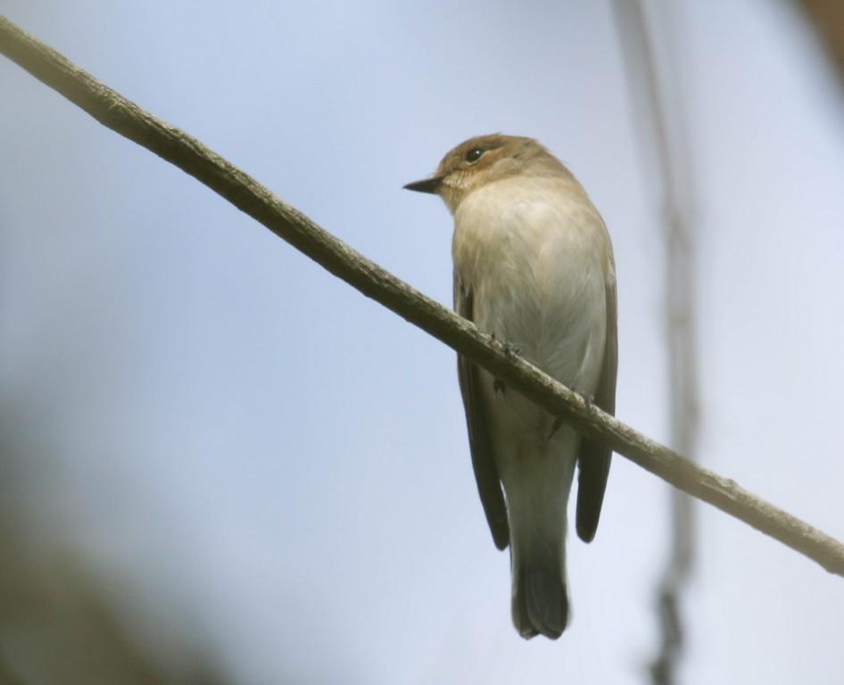 Gobemouche gris (muscicapa striata)