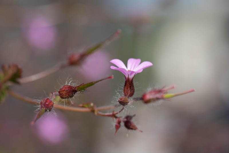 Géranium Herbe à Robert (Geranium robertianum)