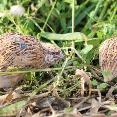 Caille des blés (coturnix coturnix)