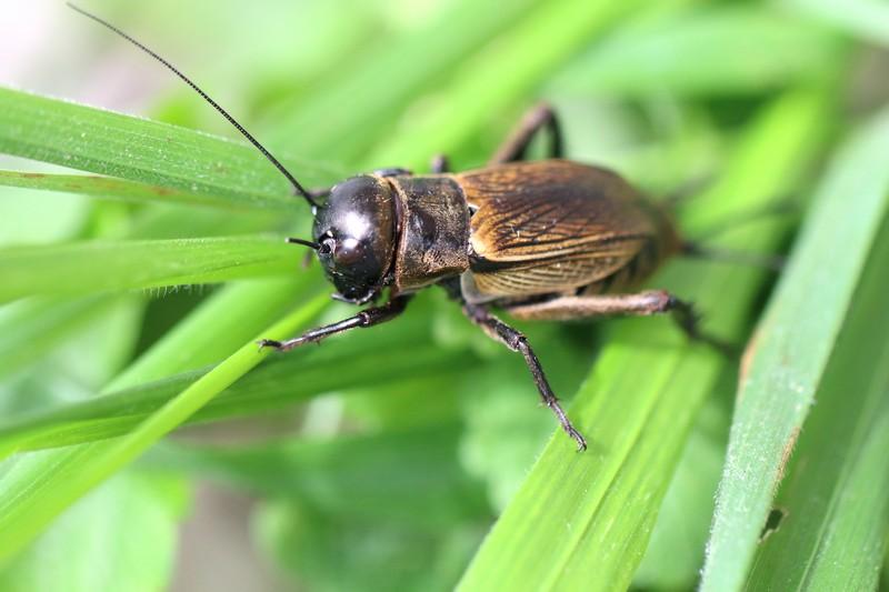 Grillon (Gryllidae)