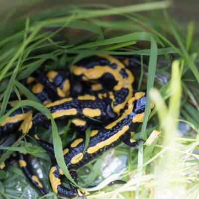 Salamandres tachetées