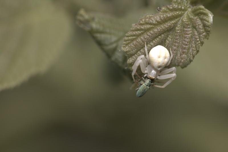 Araignée crabe (arachnides) et sa proie; capricorne.