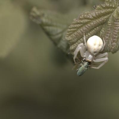 IMG_4078.CR2 Araignée crabe (arachnides) et sa proie; capricorne.