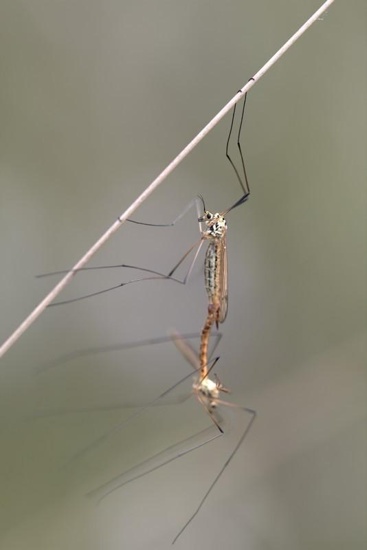 IMG_4109.CR2 Tipule (Tipulidae)