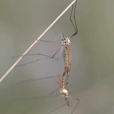 Tipule ( Tipula Oleracea)