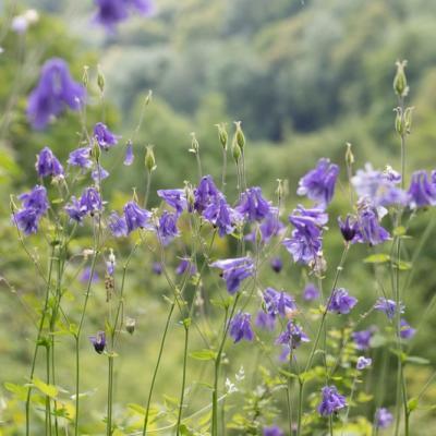 Ancolie commune (Aguilegia vulgaris)