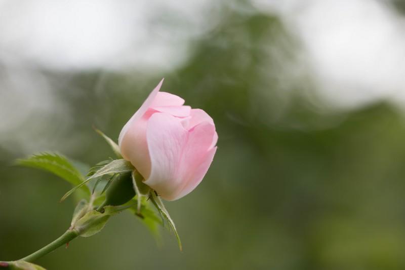 Eglantine (Rosa canina)