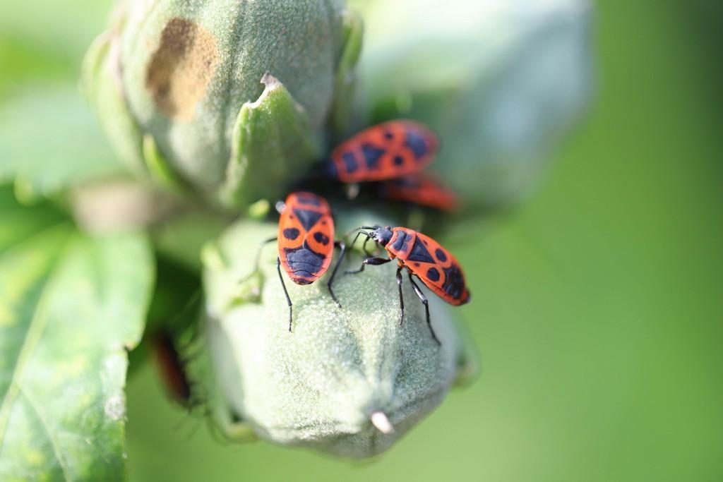 Gendarmes (Pyrrhocoris apterus)
