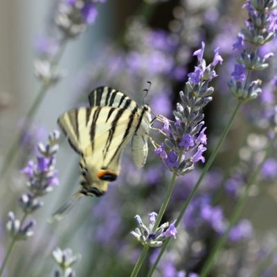IMG_4600 Flambé (Papilionidae)